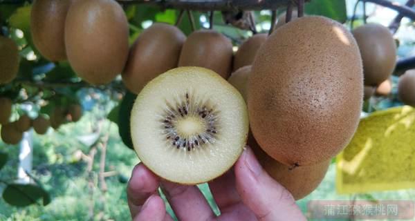 新西兰阳光金果使用促进剂BenifitPZ