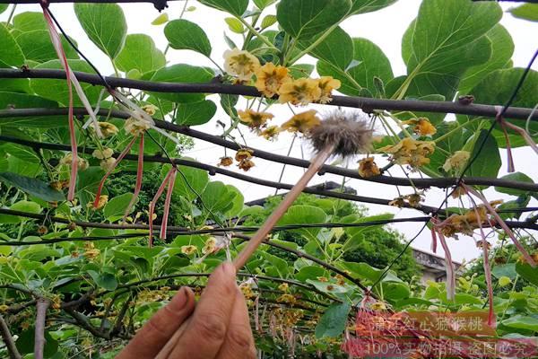有机红心猕猴桃