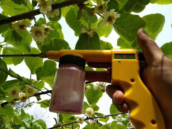 贵州红心猕猴桃基地每年大量需要猕猴桃花粉什么时候