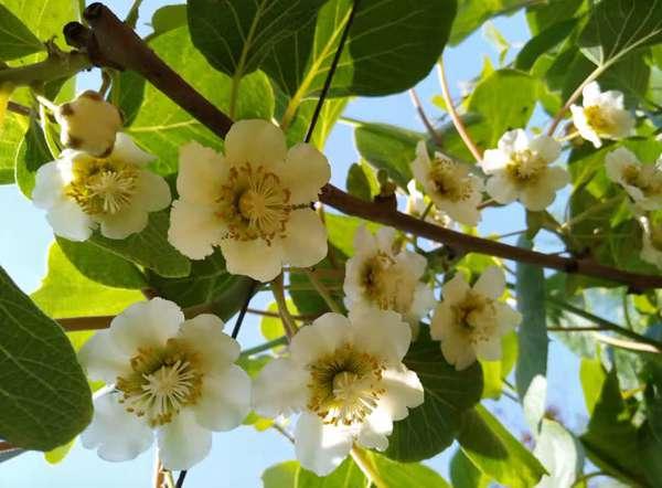 红心猕猴桃花粉多少钱
