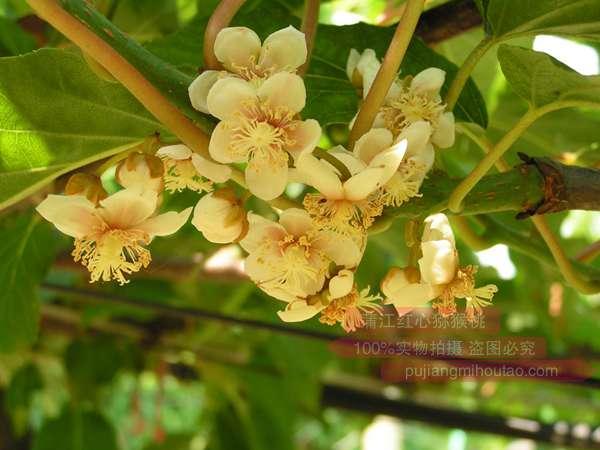 贵州红心猕猴桃花粉