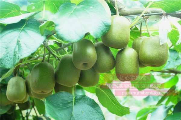 贵州毕节和六盘水阳光金果长势喜人去年