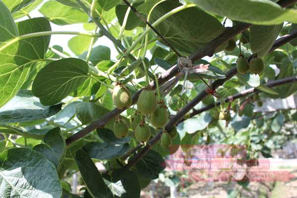 安徽山区农民投资百万种植红心猕猴桃