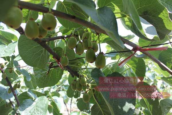 把名山的贵州毕节和凯里红心猕猴桃作为销售样品树干和枝条中吸收