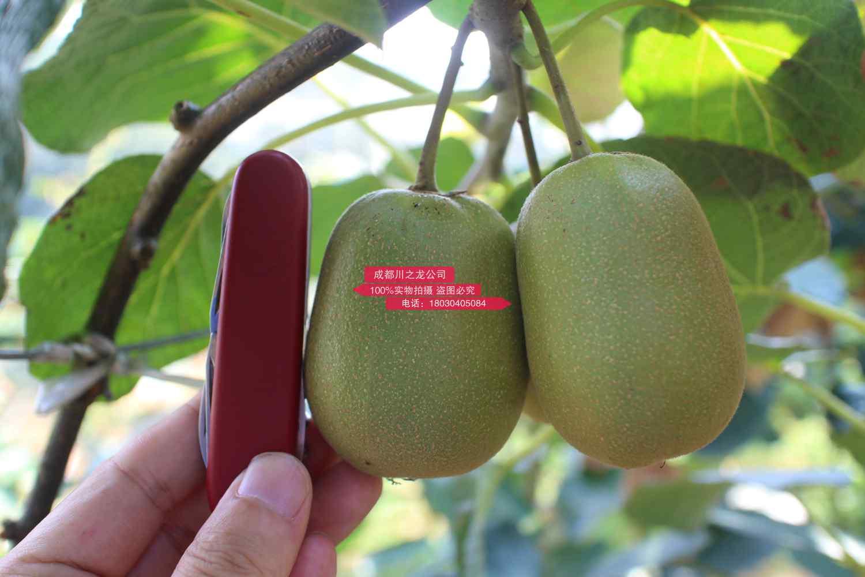 蒲江猕猴桃发展史 和东红猕猴桃引种的情况