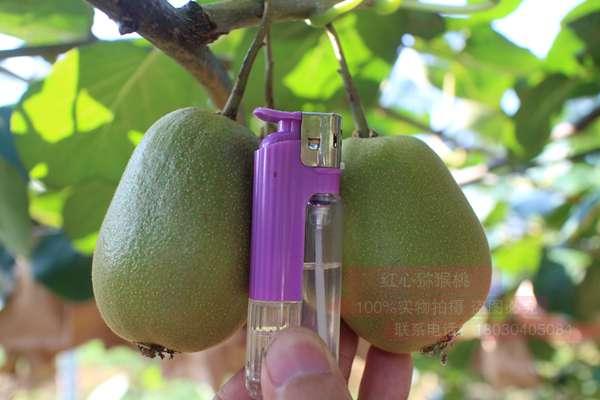 具有国际先进水平的红心黄肉猕猴桃栽培新技术