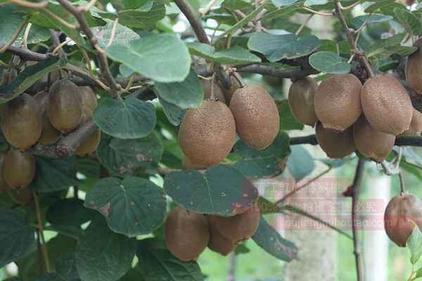 """不是所有的贵长猕猴桃都可以叫""""猕天大圣"""""""
