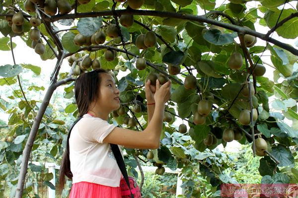 四川蒲江开展黄心猕猴桃私人订制模式销售红心猕猴桃取得良好经济效益