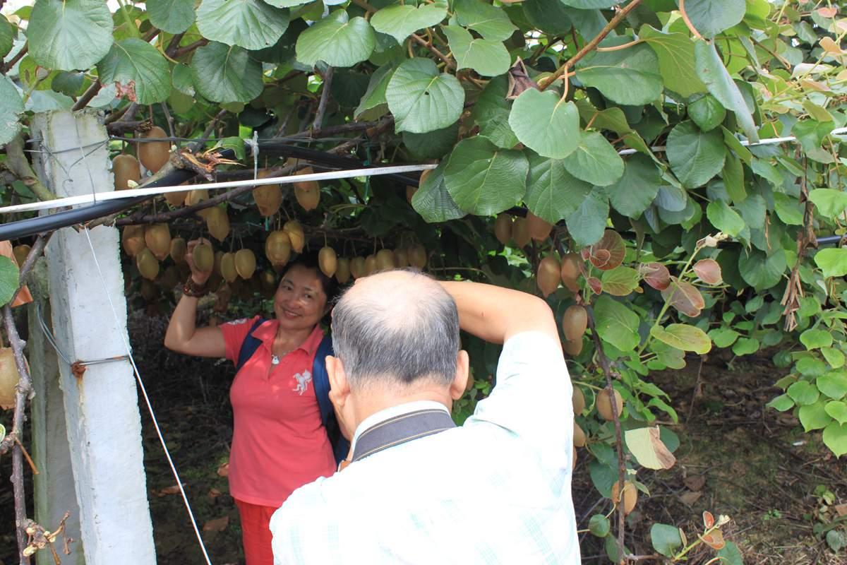 第二届猕猴桃采摘节将于8月30日在山东博山开幕