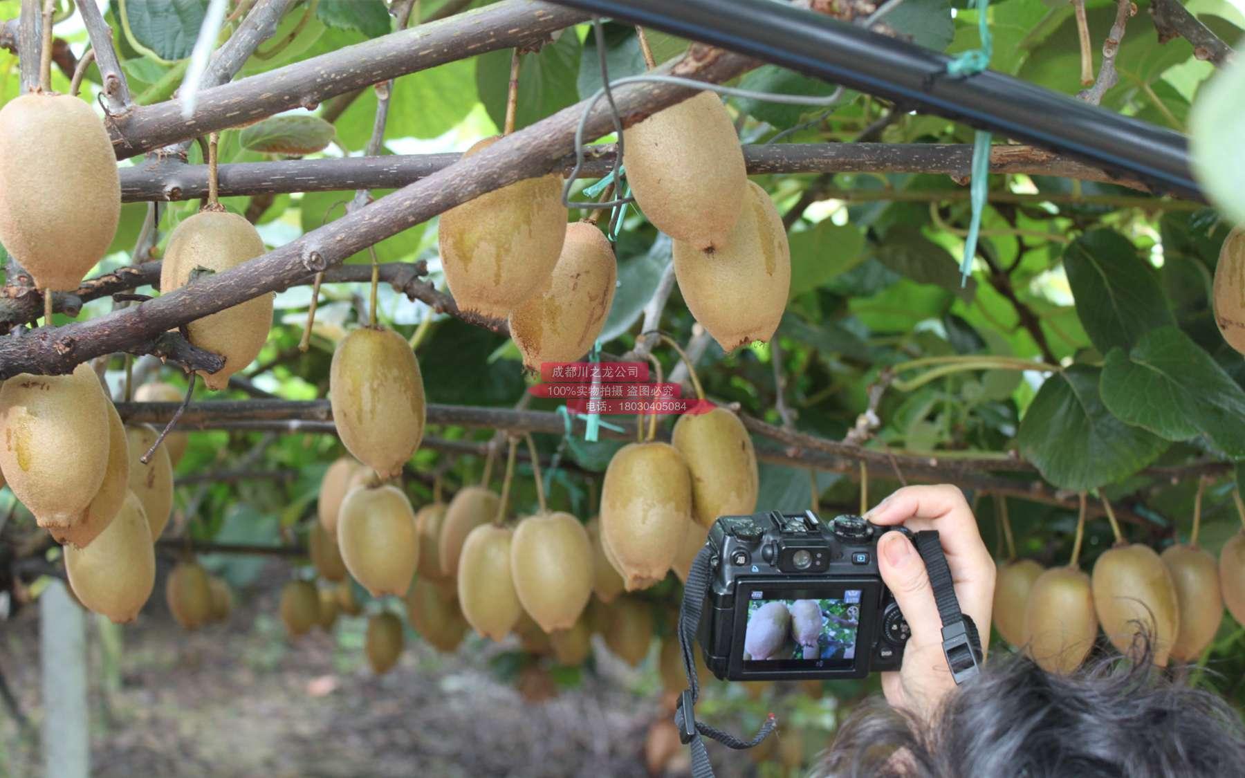 新西兰阳光金果果园都要建立高大的树木防风墙
