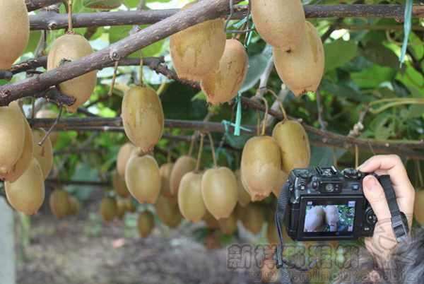 今年红心猕猴桃和黄金奇异果的价格如何要多少钱一斤