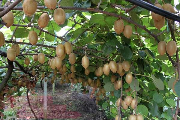 种植一亩阳光金果sungold猕猴桃成本和利润多少多次