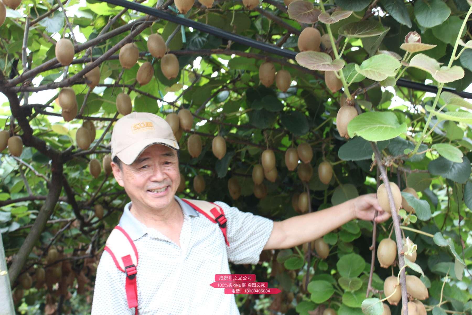 新西兰佳沛公司一直宣传阳光金果的独特美丽与文化