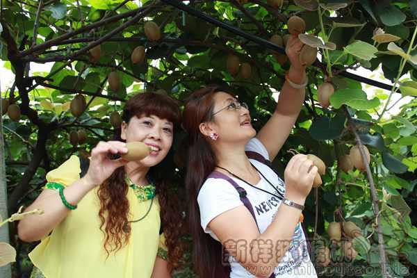黄金奇异果猕猴桃种植技术培训教学课程