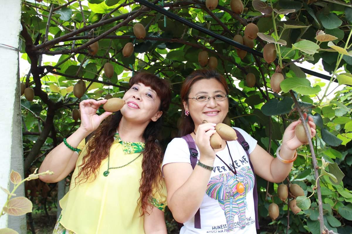 佳沛阳光金果G3猕猴桃在新西兰已广泛栽培并深受百姓喜爱