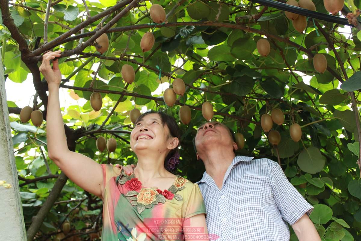 国产猕猴桃质量稳步提高,逐渐替代进口奇异果