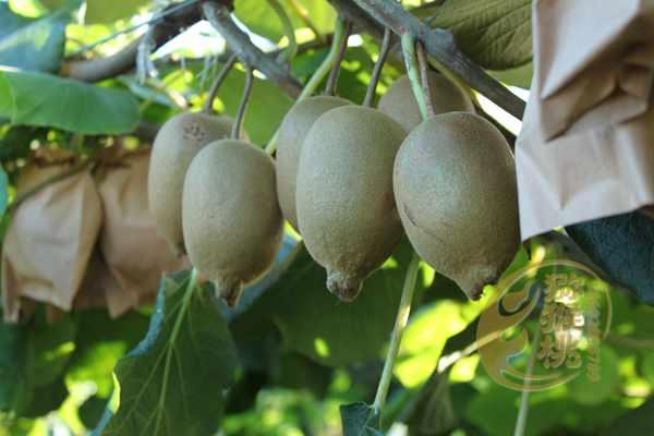 什么猕猴桃品种最好吃最耐寒是黄金奇异果吗