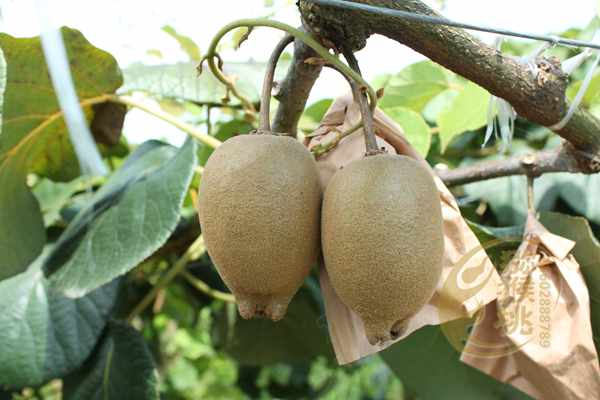 因为消费者知道了四川成都红心猕猴桃批发价格是多少钱一斤情况
