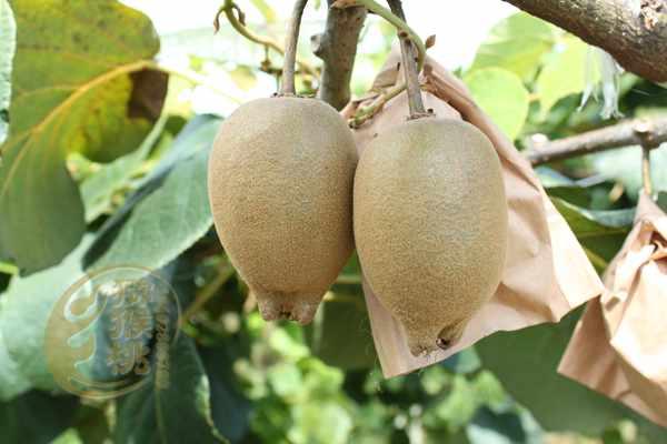 目前从新西兰进口的有机阳光金果猕猴桃销售量非常大
