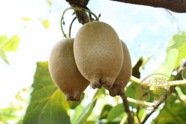 黄金奇异果周年合适施肥方案