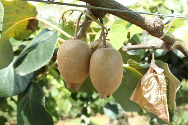 新西兰一家从事种植阳光金果猕猴桃产业的公司原产于中国