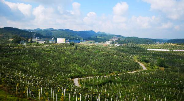 贵州遵义有机猕猴桃基地