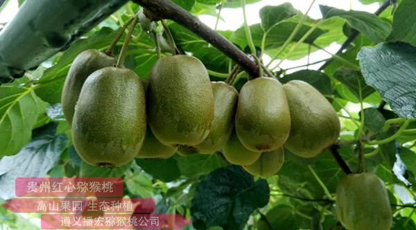 """浆果伴随着一个""""金玉""""猕猴桃还是早熟品种"""