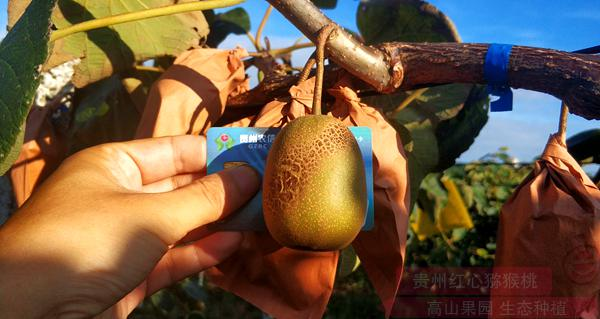 已推广除了常见的绿心猕猴桃和黄心猕猴桃之外
