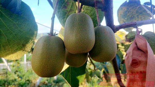 把贵州遵义红心猕猴桃产业做优做强做大2019年
