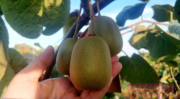 红心猕猴桃树怎么分公母期现在区的居民在家