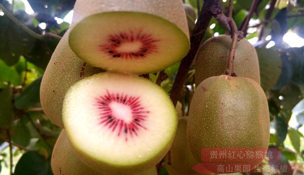 红心猕猴桃几月份上市?多少钱一斤?哪里的最正宗?