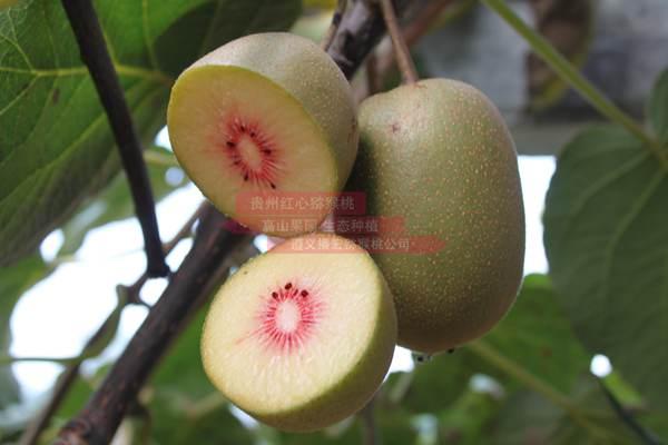 成都郊区最甜的猕猴桃种植基地已经开始采摘了