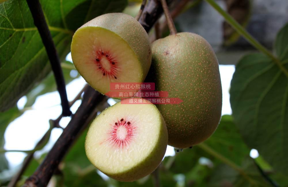 种植我们研发的红心猕猴桃营养钵苗新品种