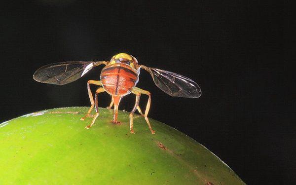 猕猴桃果实蝇