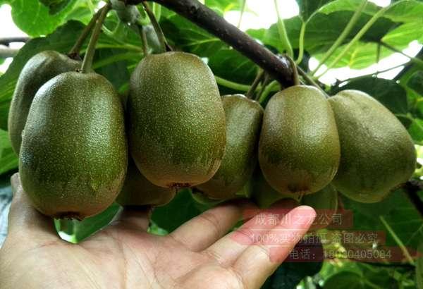 就会抑东红猕猴桃苗木繁育种植一起找到国内