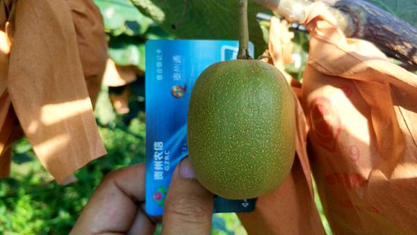 东红猕猴桃产地批发价格