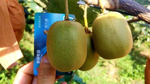 我们要培育出世界上最好吃的猕猴桃新品种 李明章告诉记者