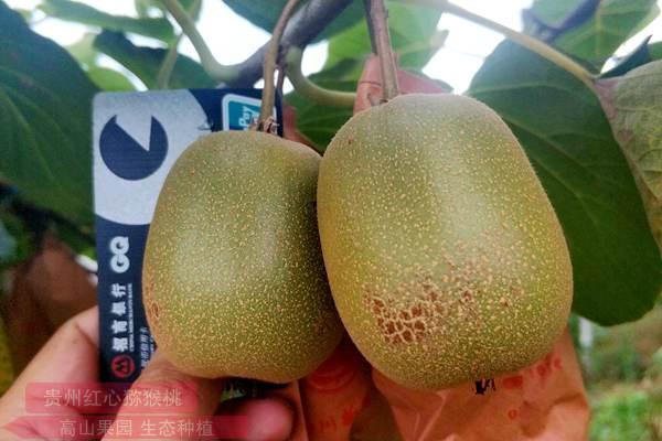 藏在深闺的江西猕猴桃产业