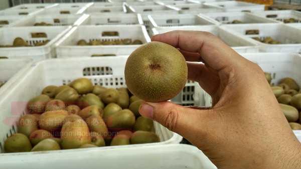 将之蒲江是联想佳沃东红猕猴桃原产地