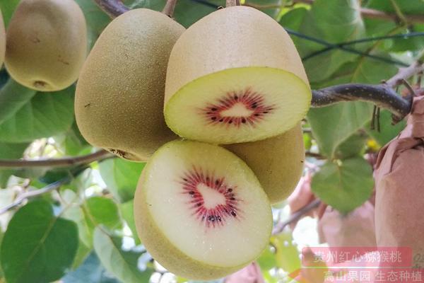 贵州红心猕猴桃成熟了