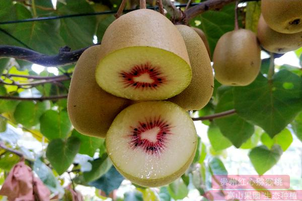 由于红心猕猴桃的果心横截面呈放射状的紫红色条纹