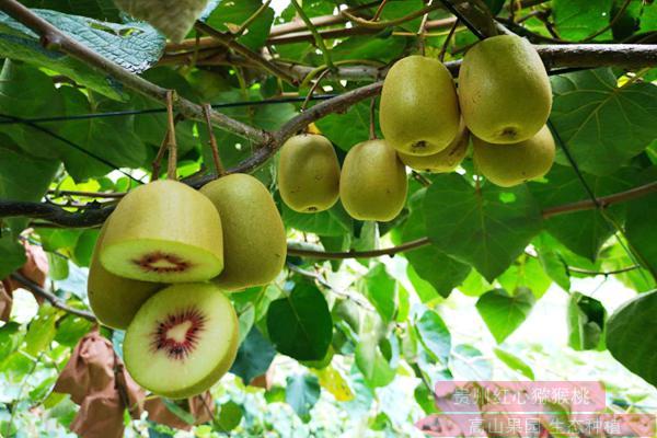 那四川红心猕猴桃和黄心猕猴桃的销量怎么样呢