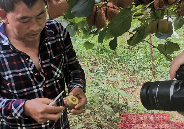 东红猕猴桃要放多久才可以吃催熟