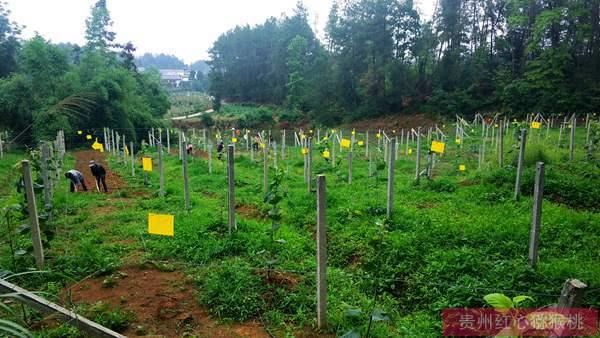 张豪决定在贵州遵义种植有机东红猕猴桃鲜果和花粉