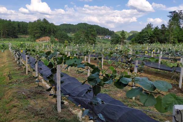 贵州遵义播宏猕猴桃标准化示范园