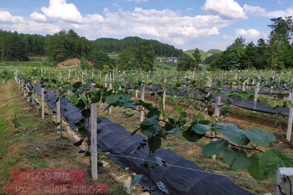 湖北浠水縣獼猴桃基地開在認養活動