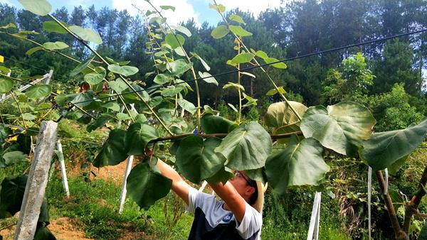 猕猴桃幼树果园管理很轻松,只要掌握以下这三点技术,仅供果农参考