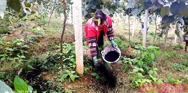 红心猕猴桃施肥有机肥