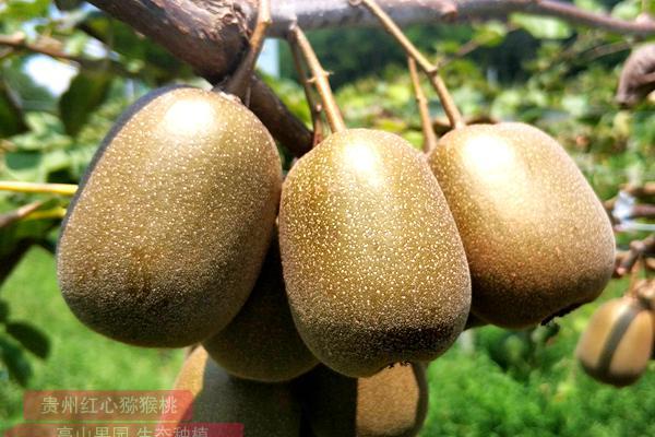 播宏猕猴桃将在贵州遵义这片红色沃土上生根发芽