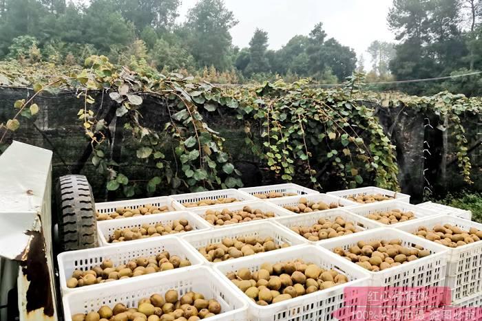 黄心猕猴桃果园